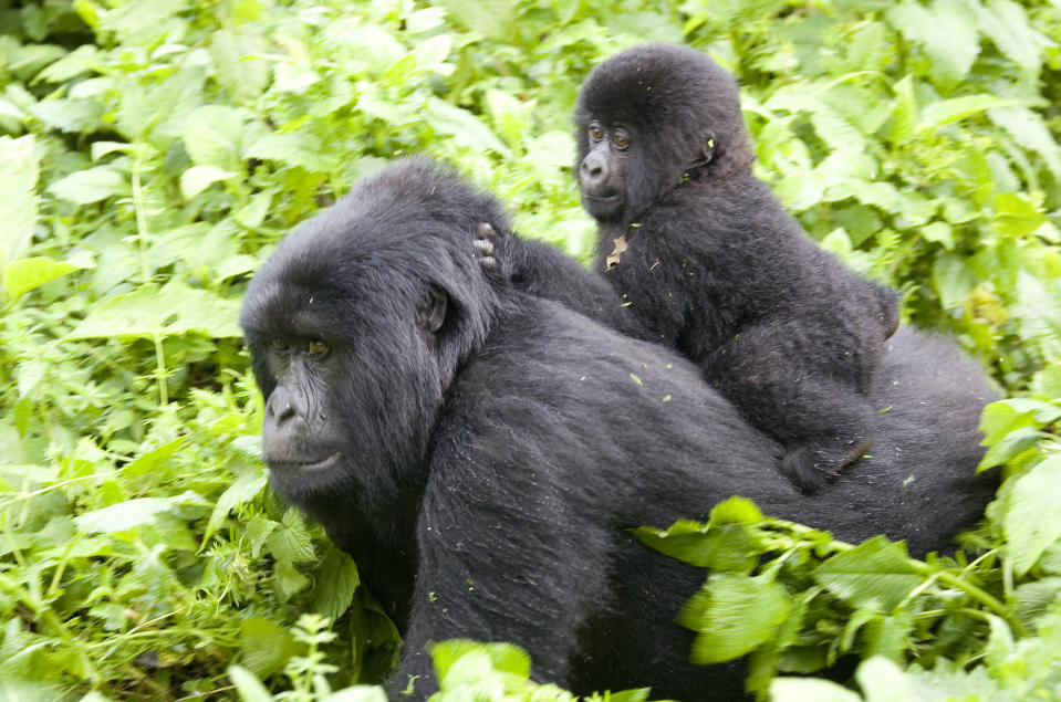 A baby mountain gorilla rides on its mother's back on the slopes of Mount Mikeno in the Virunga National Park, Eastern DRC December 12, 2008. REUTERS/Peter Andrews (DEMOCRATIC REPUBLIC OF CONGO)