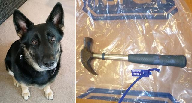 Molly and the hammer which was used to attack her (RSPCA)