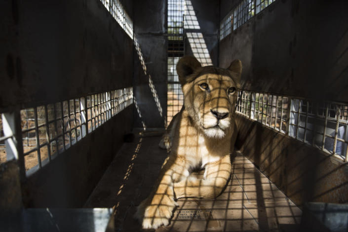 <p>One of the 33 lions waits to be released into its new enclosure at the Emoya Big Cat Sanctuary on May 1, 2016, in Vaalwater, South Africa. <i>(Dan Kitwood/Getty Images)</i></p>
