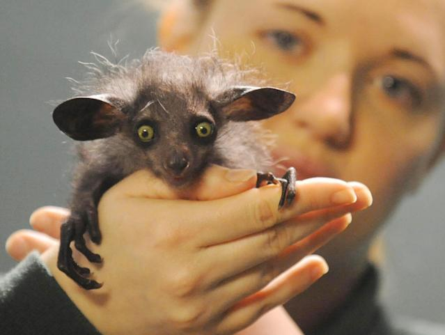 "Overseer of small mammals at Bristol Zoo Gardens Caroline Brown with the young aye aye named ""Raz"", (Daubentonia madagascariensis) in Bristol Zoo in Bristol, England, Wednesday Jan. 9, 2007. The aye aye is only the second of his species to be born in Britain. The rare species of lemur, hunted to near-extinction and seen as a bad omen in its native Madagascar, has been born at the Zoo. (AP Photo/ Barry Batchelor"