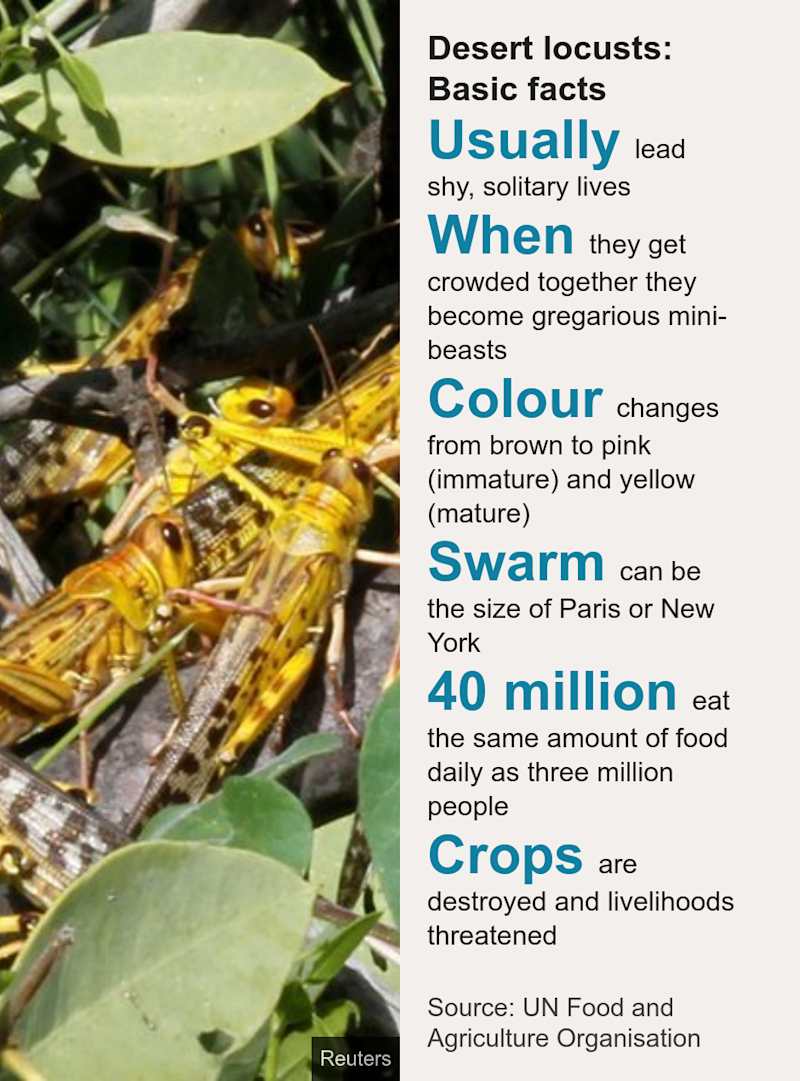 Desert locusts: Basic facts. [ Usually lead shy, solitary lives ],[ When they get crowded together they become gregarious mini-beasts ],[ Colour changes from brown to pink (immature) and yellow (mature) ],[ Swarm can be the size of Paris or New York ],[ 40 million eat the same amount of food daily as three million people ],[ Crops are destroyed and livelihoods threatened ], Source: Source: UN Food and Agriculture Organisation, Image: Desert Locusts