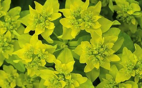 <span>Spurge</span> <span>Credit: Andrew Lawson </span>