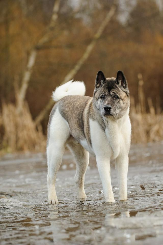 <p>Akitas have a large build (just look at the size of their heads!) which makes them powerful. If you get them comfortable with family and friends early on in life, they'll know who to be goofy and playful.</p>