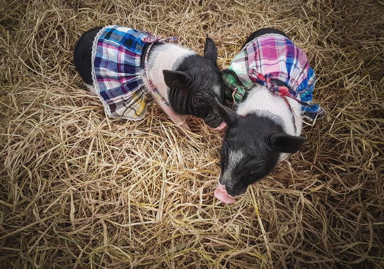 """<span class=""""caption"""">Micro pigs in skirts.</span> <span class=""""attribution""""><span class=""""source"""">PanyaStudio / Shutterstock.com</span></span>"""