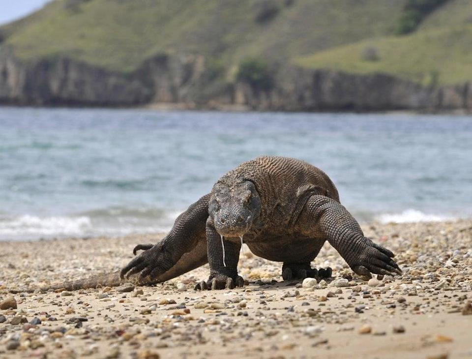 The prehistoric Komodo dragon, known as the monitor lizard, is native to Indonesia  (AFP/Getty Images)
