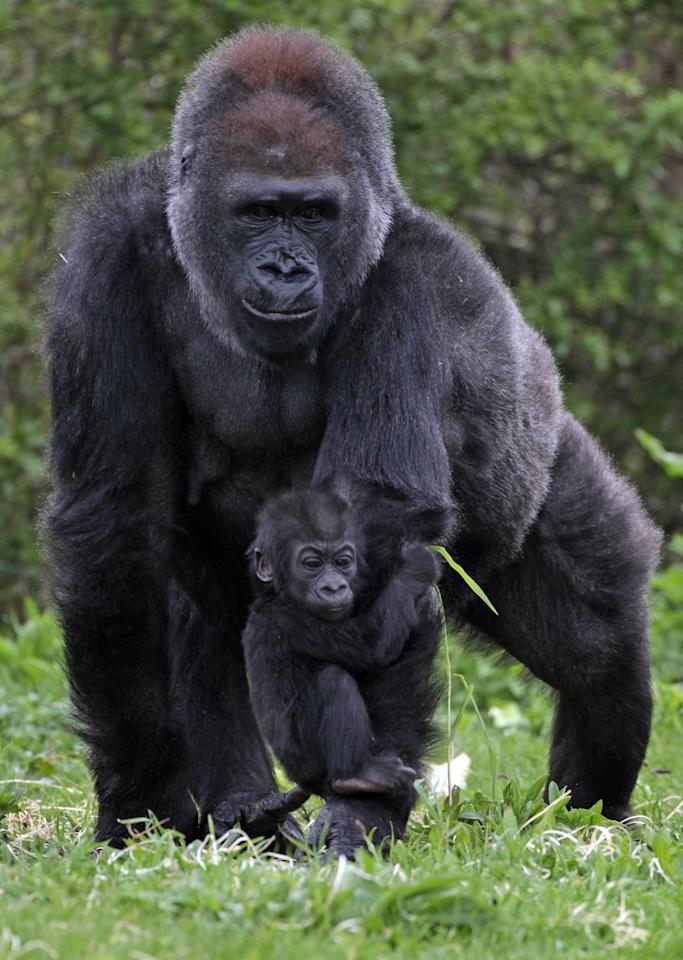 Bristol Zoo's baby gorilla Kukena holds onto his mother's arm as he ventures out of his enclosure at Bristol Zoo's Gorilla Island on May 4, 2012 in Bristol, England. The seven-month-old western lowland gorilla is starting to find his feet as he learns to walk having been born at the zoo in September. Kukena joins a family of gorillas at the zoo that are part of an international conservation breeding programme for the western lowland gorilla, which is a critically endangered species.  (Photo by Matt Cardy/Getty Images)
