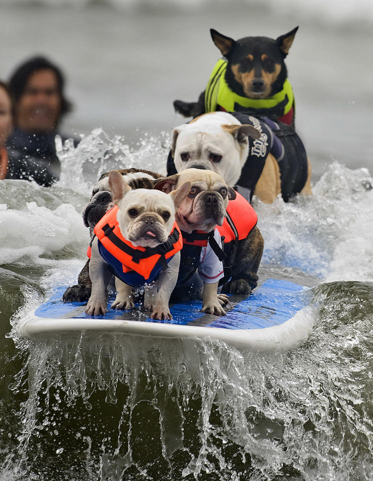 Luigi leads the way as six dogs attempt to break the Guinness World Record for most dogs on a surfboard, during the Surf City Surf Dog event held in Huntington Beach, Calif., Sunday, Sept. 25, 2011. The dogs were not able to stay on for the required ten seconds. (AP Photo/Orange County Register, Cindy Yamanaka)