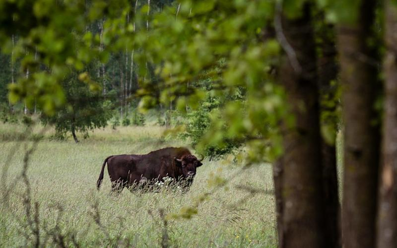 A European bison, the symbol of Bialowieza forest, is pictured in the ancient and protected woodland in May 2016 - AFP
