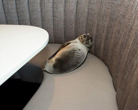 An eight-month-old female California sea lion pup is seen after being found sleeping in a booth in the dining room of the iconic Marine Room restaurant in La Jolla