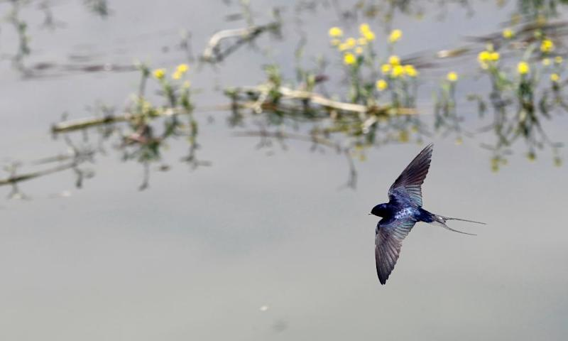 A swallow flies over Sava river in Belgrade, Serbia