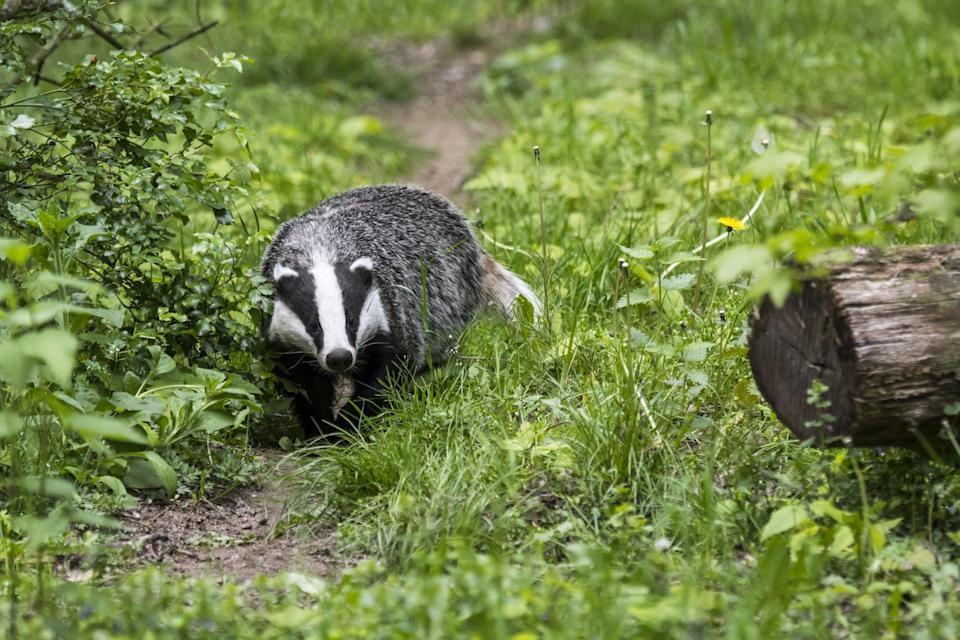 European badger (Meles meles) foraging along animal trail / wildlife track in grassland at forest edge. (Photo by: Philippe Clement/Arterra/Universal Images Group via Getty Images)