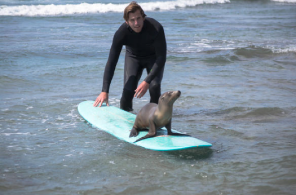 Sea lion pup jumps on surfer's board for a cuddle