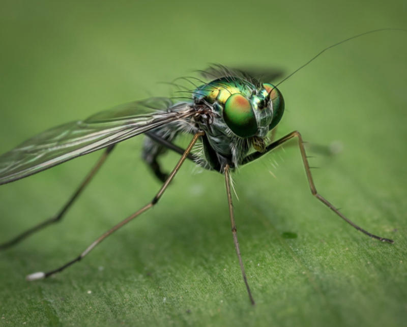 750 million genetically altered 'kill the females' mosquitoes approved in U.S.