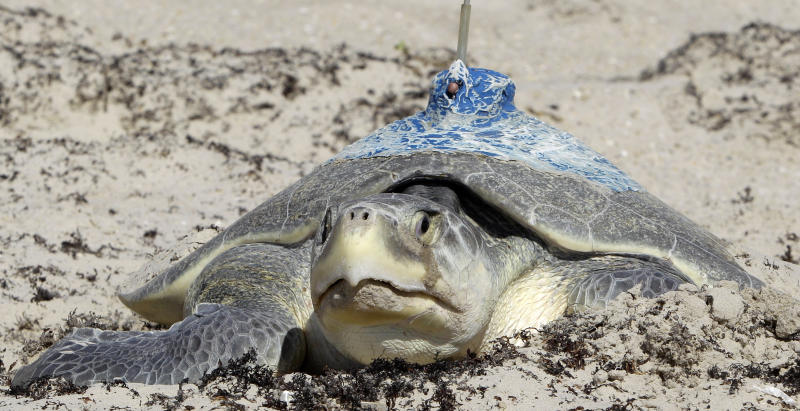 In this photo taken May 14, 2011, a Kemps ridley sea turtle with a tracking antennae applied to her shell with epoxy sits in the sand depositing eggs at Padre Island National Seashore National Park in south Texas. A year after an oil spill in the Gulf of Mexico, scientists and biologists are getting their first real idea of how much damage was done to the regionís population of sea turtles as the females begin heading to coastal shores to nest. The greatest concern has been for the Kemps ridley, the smallest sea turtle and the most endangered. (AP Photo/Pat Sullivan)