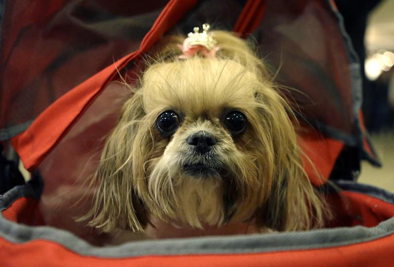 "A Miniature Schnauzer named ""Mocha"" sits in a baby carriage while waiting in the lobby at the Hotel Pennsylvania Sunday, Feb. 10, 2013, across from Madison Square Garden, home to the Westminster Kennel Club Dog Show, which is Monday and Tuesday in New York. (AP Photo/Kathy Willens)"