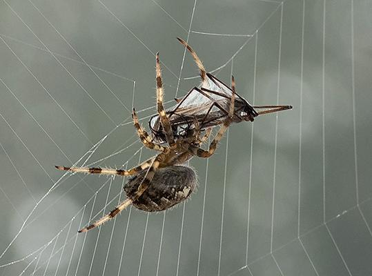 Spiders can fly on electric fields