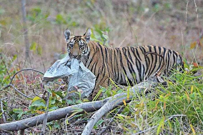 Royal Mess: In the buffer zone of the Tadoba-Andhari Tiger Reserve, a tiger cub picks up a plastic gunny bag. With several tiger reserves in India boasting healthy tiger populations, the question that arises is: where will all of them go? Many tigers have begun foraying into human-dominated landscapes or degraded and insufficiently protected forests, where they must contend with the pressures of sharing space with human communities. This can lead to all manner of conflicts, and, as in this case, tiger cubs chewing on plastic.