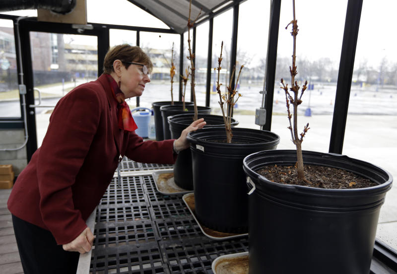 In this Monday, March 18, 2013 photo, Mary Fortney, learning resource development manager at the Indianapolis Children's Museum, looks over chestnut saplings from the tree outside Anne Frank's hiding spot in Amsterdam being cared for in the museum's greenhouse in Indianapolis. Eleven saplings grown from seeds taken from the massive chestnut tree that stood outside the home in which Frank and her family hid are being distributed to museums, schools, parks and Holocaust remembrance centers through a project led by The Anne Frank Center USA. (AP Photo/Michael Conroy)