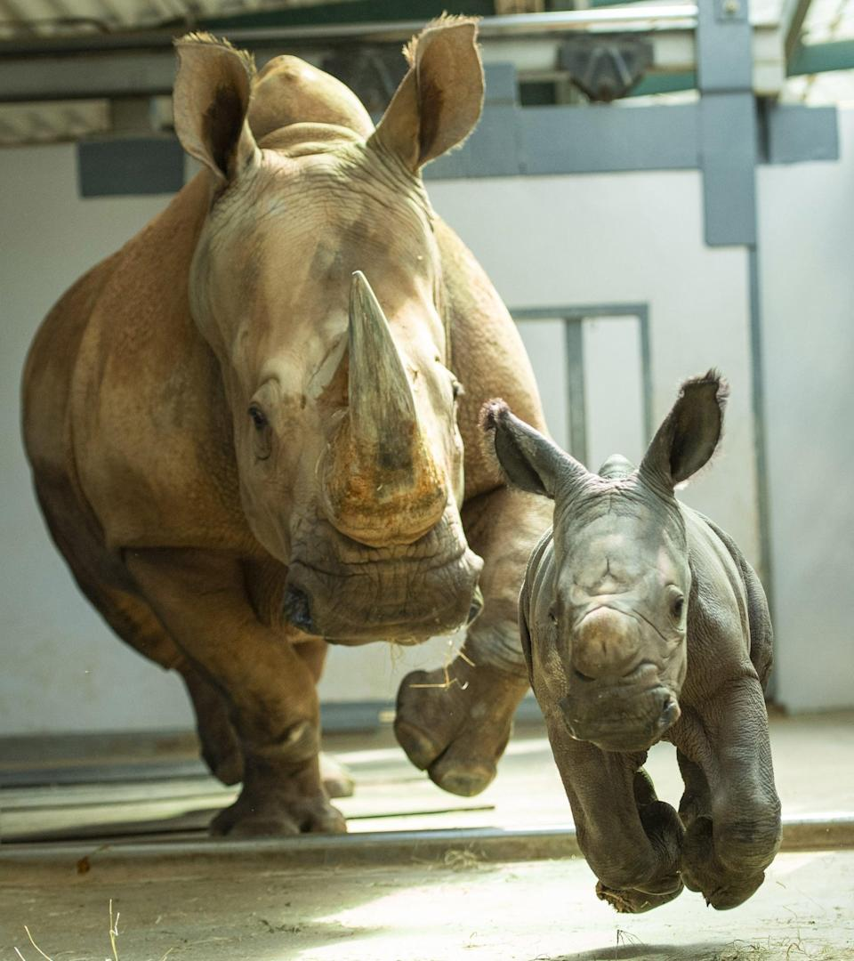 "<p>There's nothing cuter than a baby animal . . . even if that animal is a 100-pound rhino. Disney is doing their part to protect these adorable baby rhinos (and a number of other species at <a href=""https://www.popsugar.com/smart-living/Fun-Facts-About-Disney-Animal-Kingdom-Lodge-46425603"" class=""link rapid-noclick-resp"" rel=""nofollow noopener"" target=""_blank"" data-ylk=""slk:Animal Kingdom"">Animal Kingdom</a>) through something called the Species Survival Program. Disney's animal care team works closely with the Association of Zoos and Aquariums to encourage healthy breeding for at-risk and endangered species. Think of it as Tinder for wildlife.</p>"