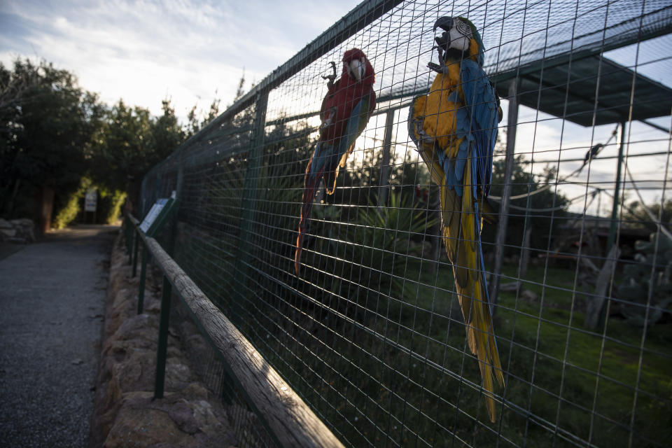 Parrots cling to an iron fence in the Attica Zoological Park in Spata, near Athens, on Thursday Jan. 21, 2021. After almost three months of closure due to COVID-19, Greece's only zoo could be approaching extinction: With no paying visitors or state aid big enough for its very particular needs, it still faces huge bills to keep 2,000 animals fed and healthy. (AP Photo/Petros Giannakouris)
