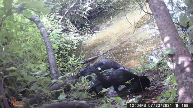 The Kensington North Watersheds Association has captured several river otters on its trial camera this summer. (Kensington North Watersheds Association/Facebook - image credit)