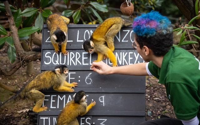 Zookeeper Rowan Swainson counts Squirrel monkeys on Wednesday (Dominic Lipinski/PA)