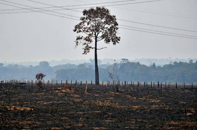 A lone tree stands in a deforested area of the Amazon basin in west-central Brazil (AFP Photo/Carl DE SOUZA)