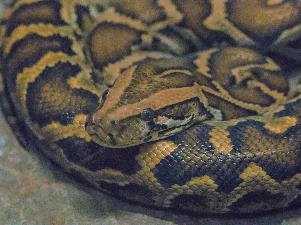 Florida is a hotspot for alien species among continental regions, including the Burmese python: Getty Images/iStockphoto