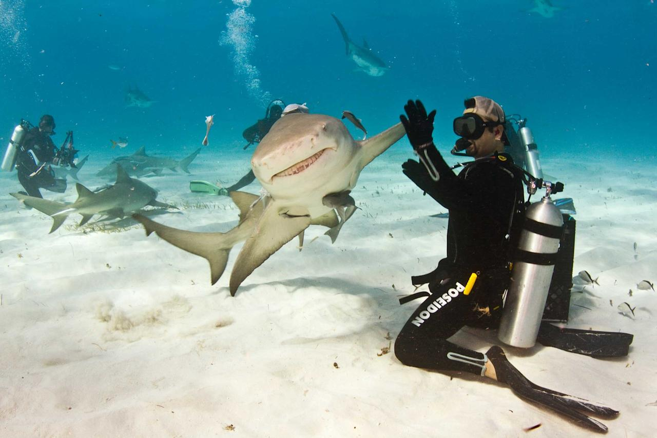 "A diver coaxes a high five out of a maneating shark. Eli Martinez, 40, was interacting with the apparently laid-back lemon shark in the balmy waters off the coast of The Bahamas. The normally ferocious fish - named Taxi by Eli and his pals - swam straight towards the Texan, before turning at the last second and leaving her outstretched fin for the hi-5. Eli, who works as the editor of Shark Diving magazine, said: ""It was beautiful being on the seabed with all these majestic sharks (Caters)"