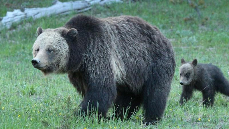 Bear Defending Cub Attacks 10-Year-Old Boy at Yellowstone National Park