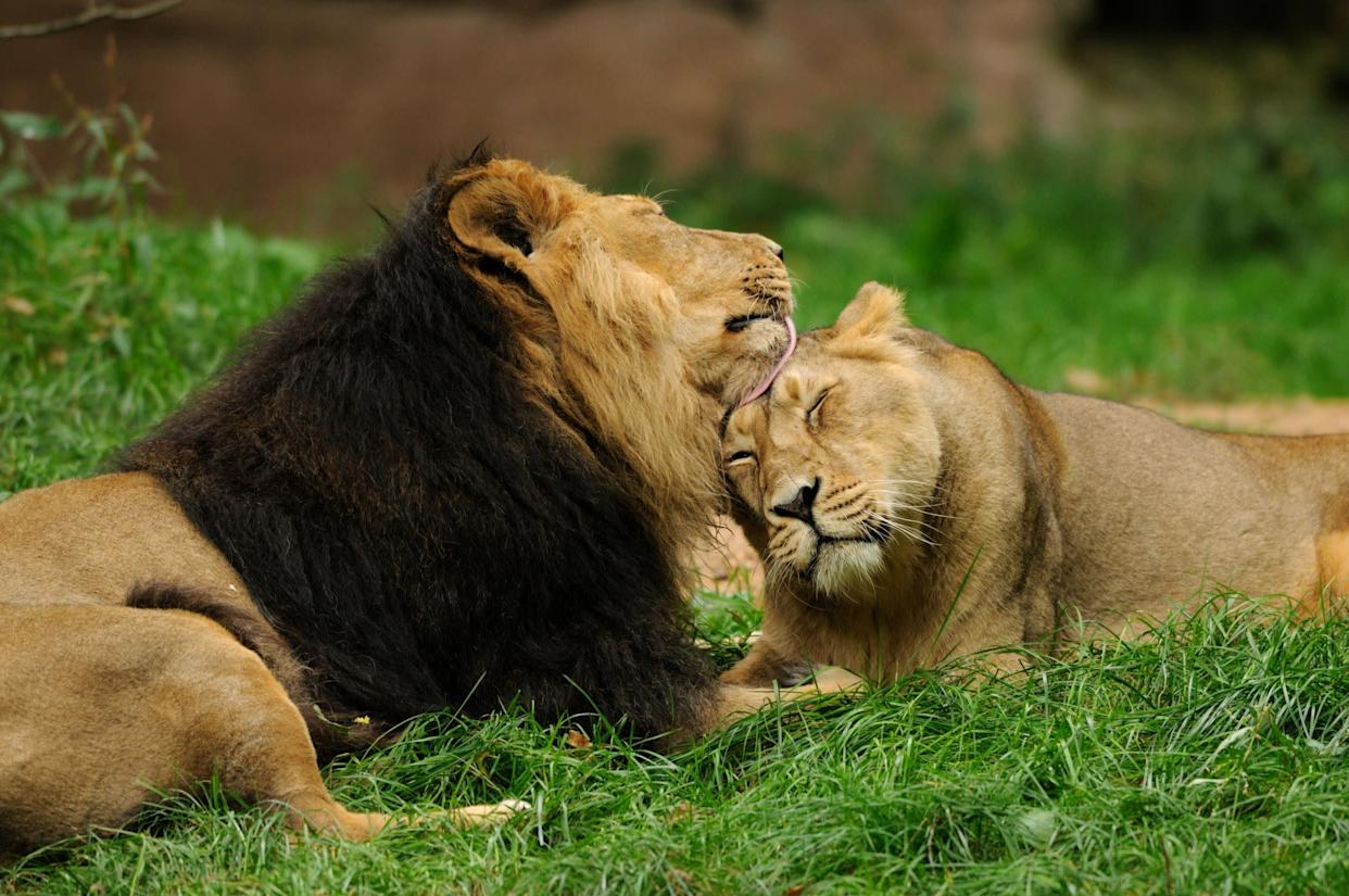 Pair of lions (Panthera leo) on meadow, side view
