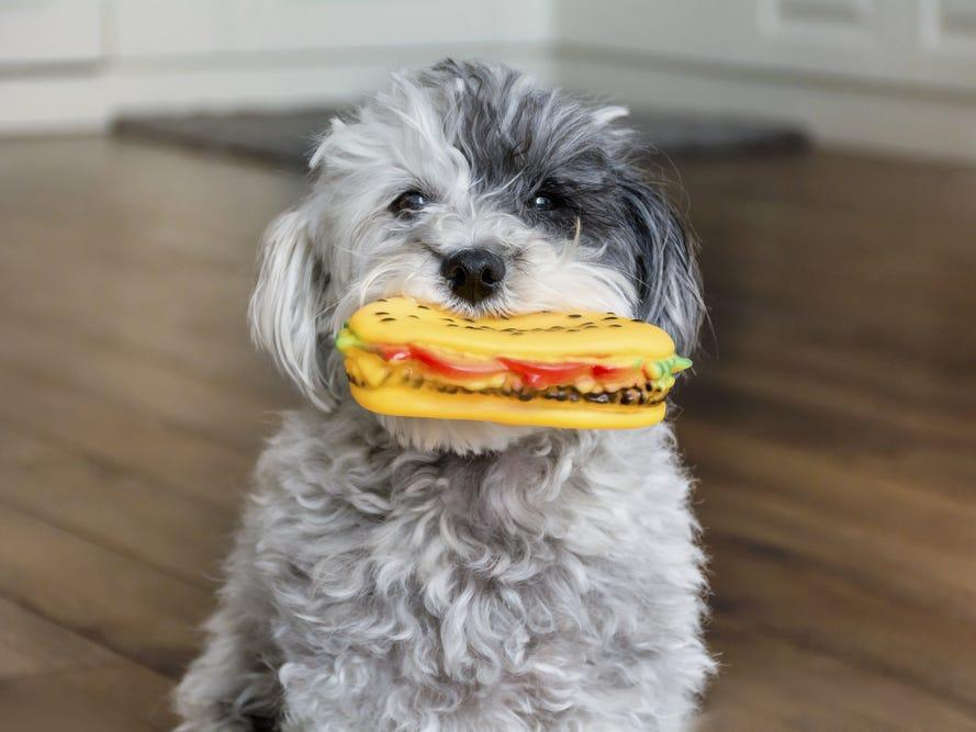 dog with sandwich toy playing