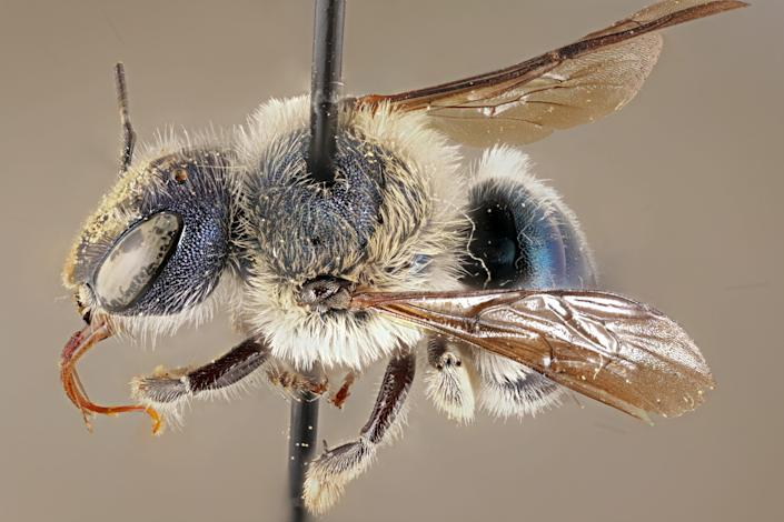 A blue calamintha bee specimen at the Florida State Collection of Arthropods collected in 2002.