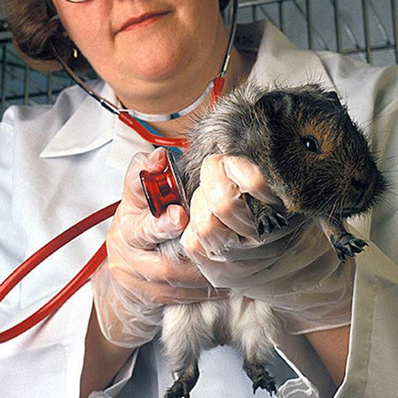 A guinea pig's inner ear became a battery in an MIT-Harvard experiment. Here, an unrelated guinea pig is given a checkup by a veterinary medical officer.