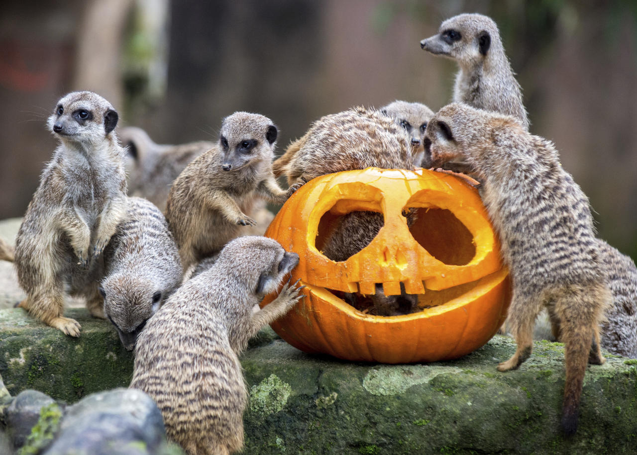 <p>Meerkats gather around a pumpkin at the zoo in Hannover, Germany, Thursday, Oct. 26, 2017. Carved pumpkins were given to the animals on Wednesday. (Photo: Hauke-Christian Dittrich/dpa via AP) </p>