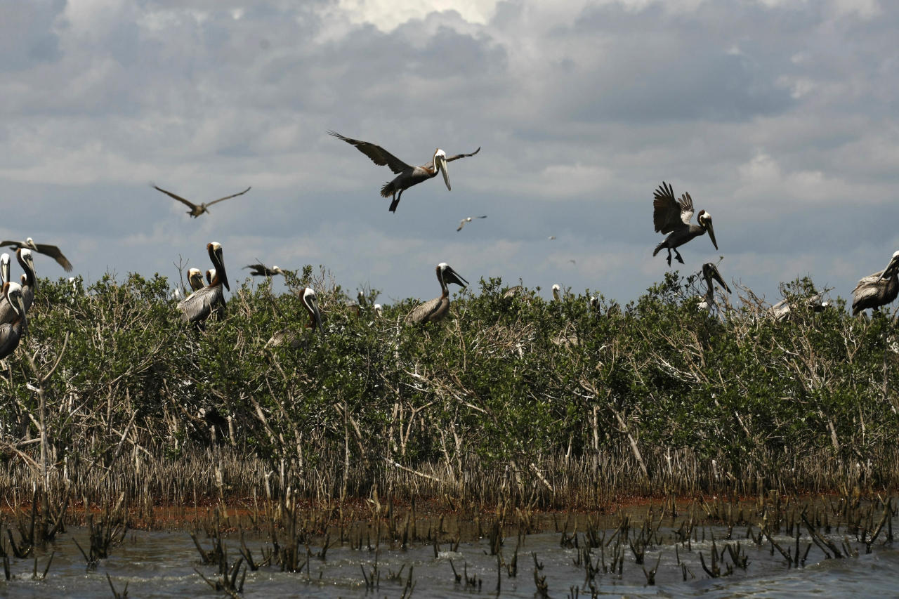 FILE - In this May 22, 2010 file photo, Pelicans are seen nesting on mangrove on Cat Island as oil from the Deepwater Horizon oil spill impacts the shoreline below, in Barataria Bay in Plaquemines Parish, La. (AP Photo/Gerald Herbert, file)