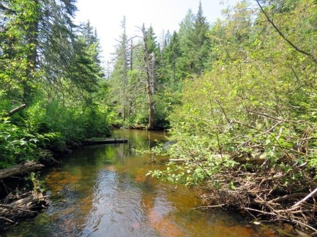 The surrounding forest helps keep the water cool, which is important for young salmon and trout. (Island Nature Trust - image credit)