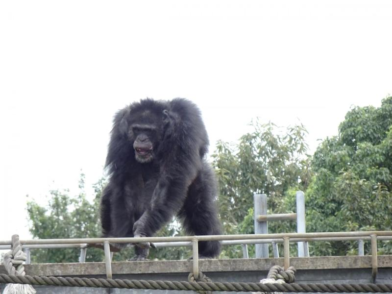 A male chimpanzee making a rhythmic display