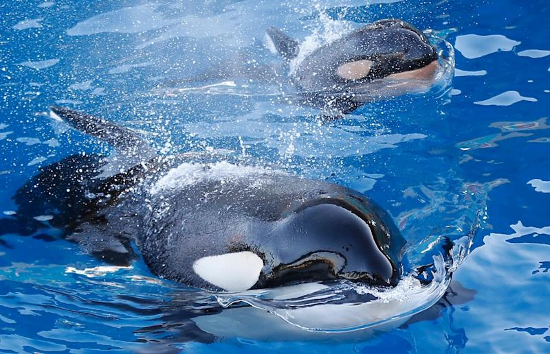 An orca swims with its baby at the Marineland animal exhibition park in the French Riviera city of Antibes, southeastern France on December 10, 2013 (AFP Photo/Valery Hache)