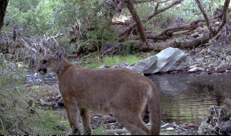 FILE - This undated image provided by the National Park Service shows a mountain lion, called P-18, captured by a remote camera, just after becoming independent from his mother and who was later killed trying to cross a highway near the Santa Monica Mountains in southern California. Biologists who have spent a decade studying the lions living in the Santa Monica Mountains say the cat was simply searching for a home. While mountain lion populations are healthy across the state, the situation is becoming increasingly dire for the isolated population in the Santa Monica Mountains. DNA tests indicate that mountain lions in the Santa Monica Mountains are inbreeding _ another sign of the challenges facing the species struggling to survive in the midst of one of the nation's most densely populated urban regions. (AP Photo/National Park Service, File)