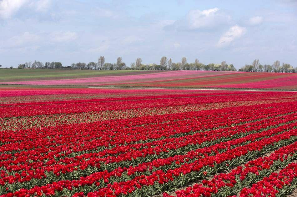 Tulips blossom on a field in Schwaneberg near Magdeburg, Germany.