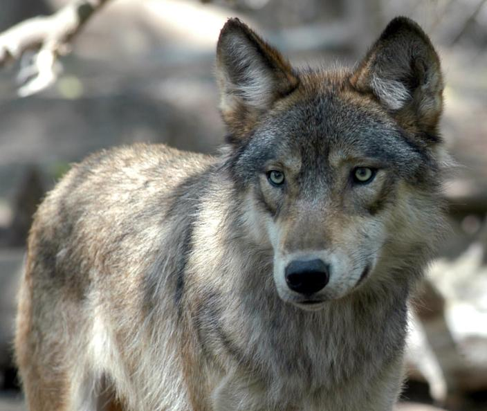 This July 16, 2004 file photo shows a gray wolf at the Wildlife Science Center in Forest Lake, Minn. Idaho's Senate approved a bill to kill 90% of the state's wolf population.