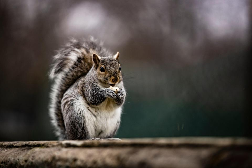 A squirrel eats a nut on a wall on the grounds of the U.S. Capitol on February 11, 2021 in Washington, DC.  (Getty Images)