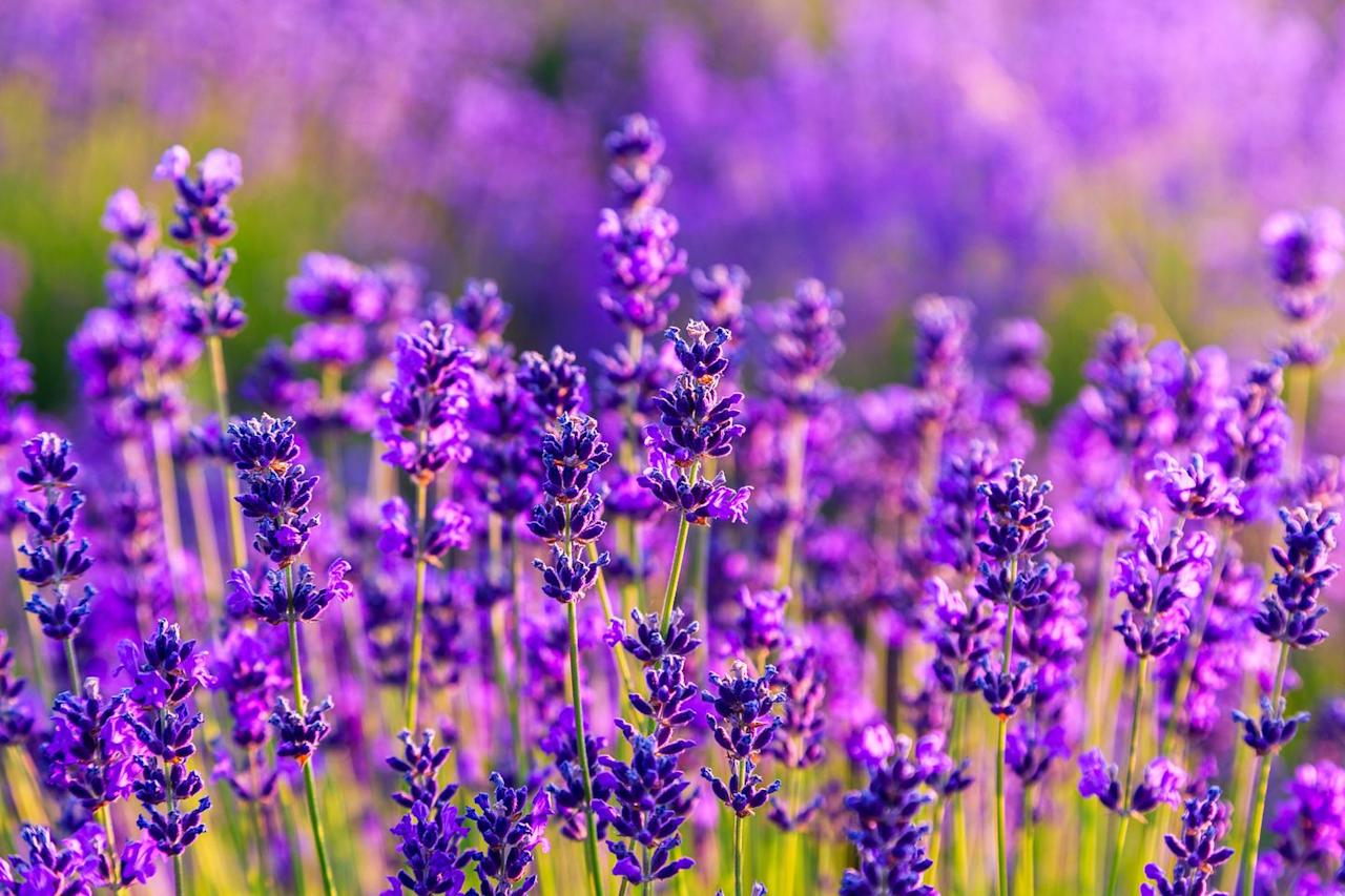 "<p>Best known for its calming effect, lavender is great to have in the bedroom to help you fall asleep. Cut some off a bush outside and place into a vase of water. Lavender requires plenty of sunlight, so the window sill is the best place to leave it when growing indoors.<br></p><p><a class=""body-btn-link"" href=""https://go.redirectingat.com?id=127X1599956&url=https%3A%2F%2Fwww.thompson-morgan.com%2Fp%2Flavender-stoechas-bandera%2FTKA0901TM&sref=https%3A%2F%2Fwww.housebeautiful.com%2Fuk%2Fgarden%2Fplants%2Fg28899283%2Fplant-alternatives-air-fresheners%2F"" target=""_blank"">BUY NOW</a></p><p>We earn a commission for products purchased through some links in this article.</p>"