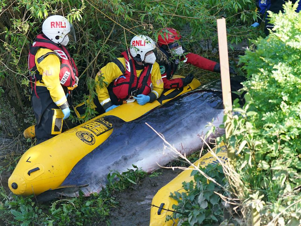 Members of the RNLI attempt to assist the whale at Teddington lockPA