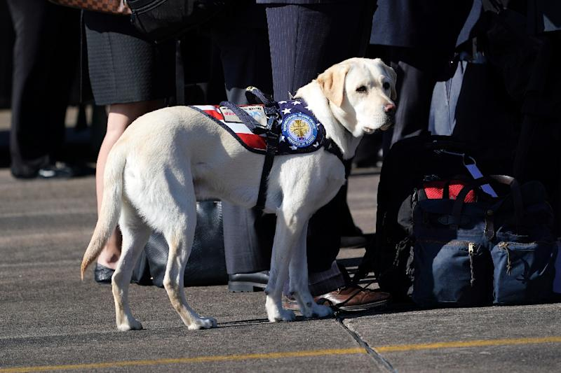 Sully, George H.W. Bush's service dog, seen at Ellington Field in Houston as the president's casket left for Washington
