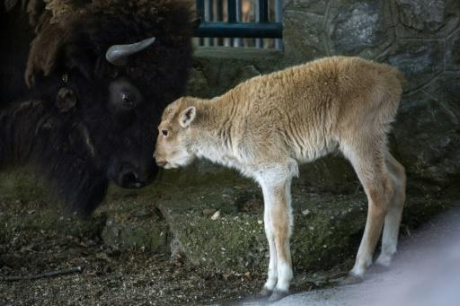 Dusanka's father was also a white bison