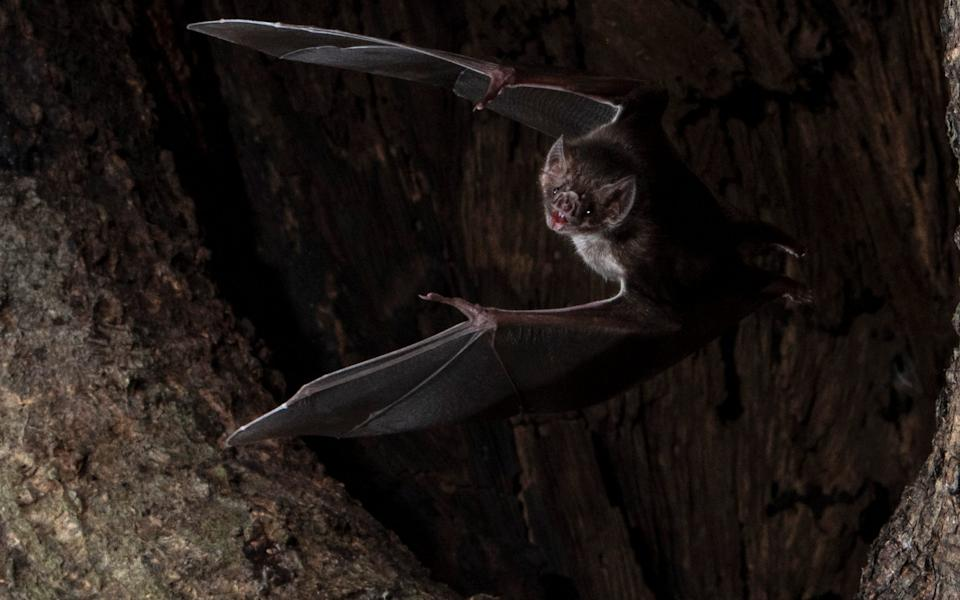 Undated handout photo issued by Behavioural Ecology of a vampire bat - Sherri and Brock Fenton/Behavioural Ecology/PA Wire