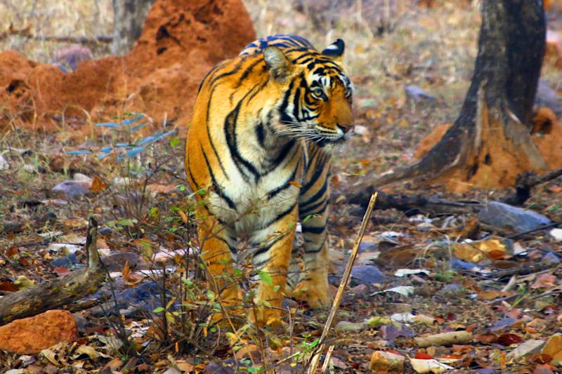 A Tigress Sultana is seen during a Jungle safari at the Ranthambore National Park in Sawai Madhopur district, Rajasthan, India on February 9, 2020. (Photo by STR/NurPhoto via Getty Images)