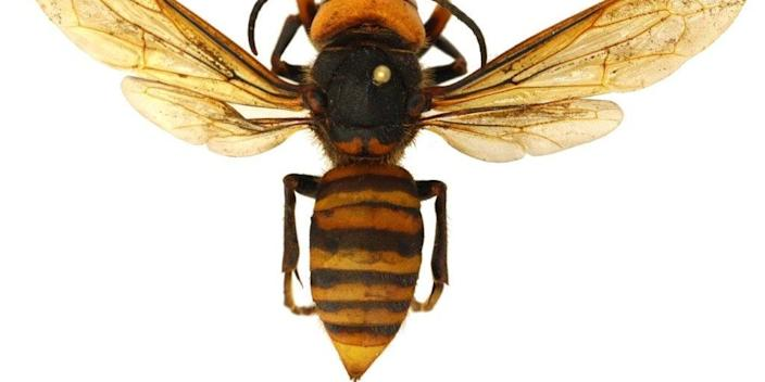 An Asian giant hornet photographed by the Washington State Department of Agriculture.
